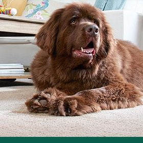 Petfriendly carpet | Roberts Carpet & Fine Floors